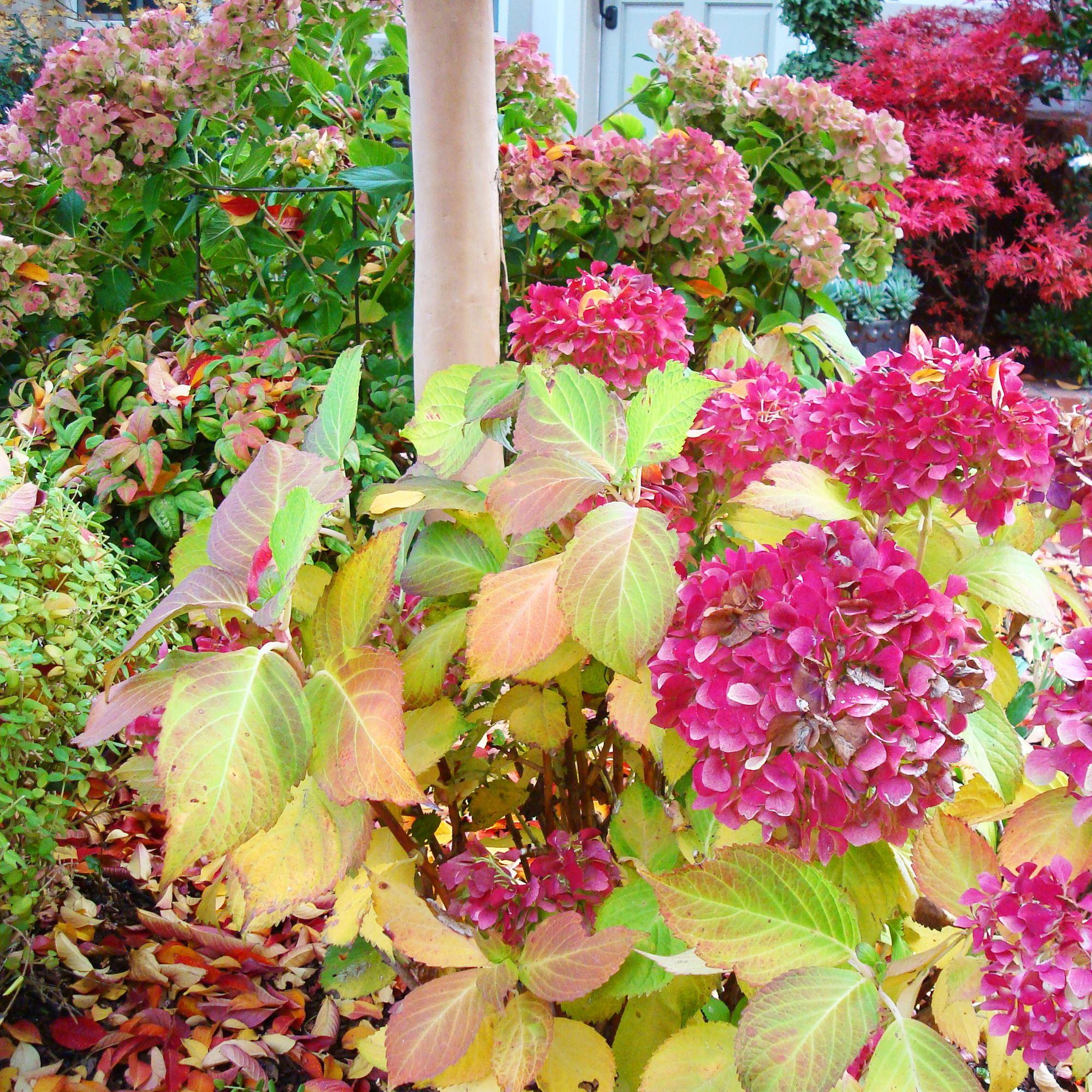 Pruning Hydrangeas In Mild Climate Zones