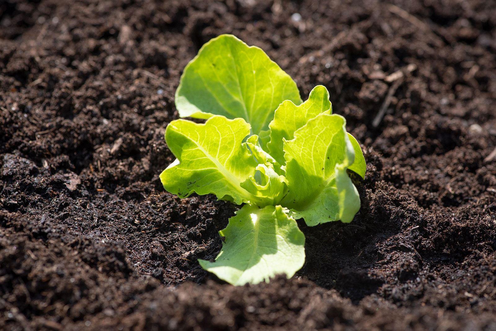 Quelle Salade Planter Maintenant je sème mes laitues de printemps